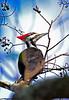 PileatedWoodpeckerTampaFL-2015-sjs-003