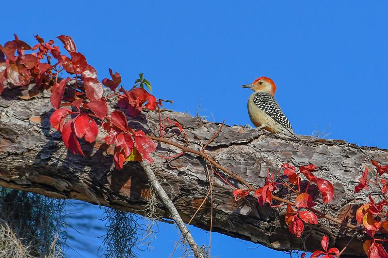 RedBelliedWoodpecker-PineMeadows-12_4_19-SJS-001