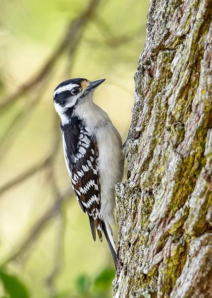 DownyWoodpecker(male)-LYE-3-13-19-SJS-020