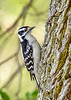 DownyWoodpecker(male)-LYE-3-13-19-SJS-020