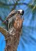 RedCockadedWoodpecker-OcalaNF-9-25-20-sjs-19
