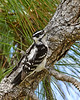 DownyWoodpecker-LakeLouisaSP-3-5-20-SJS-002