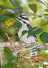 DownyWoodpecker(male)-PineMeadows-10-6-20-sjs-01