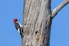 RedHeadedWoodpecker-OcalaNF-11-5-20-sjs-03