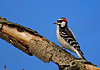 DownyWoodpecker-sjs-08
