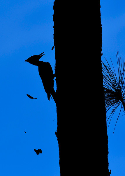 PileatedWoodpecker(male)-OcalaNF-11-8-18-SJS-009