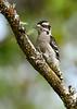 DownyWoodpecker(male)-OcallaNF-9-16-20-sjs-006