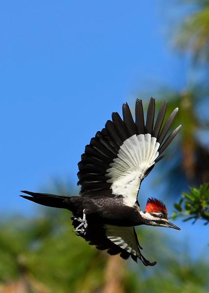 PileatedWoodpecker-MeadGardens-4-16-19-SJS-026