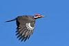 PileatedWoodpecker-SawgrassIsland-3-12-20-SJS-006