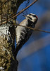 DownyWoodpecker-LakeLouisaSP-11-21-19-SJS-003