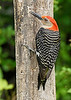 Red-bellied-Male-Woodpecker-IH-6-22-17-SJS-005