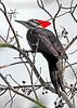 PileatedWoodpeckerTampaFL-2015-sjs-005