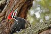 PileatedWoodpecker-ApopkaFL-1-20-18-SJS-025