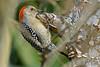 RedBelliedWoodpecker-LAWD-2-3-18-SJS-011