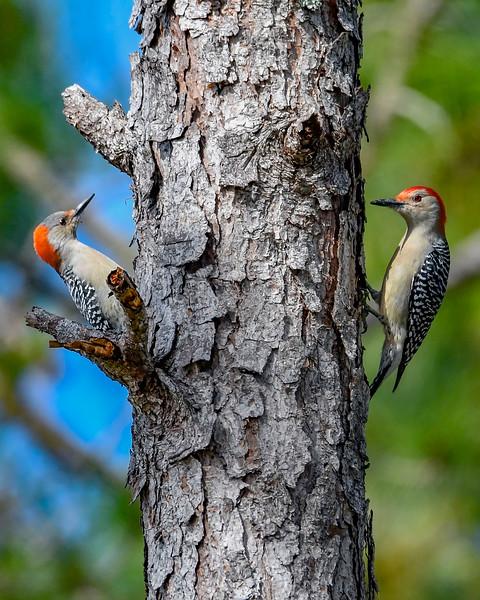 RedBelliedWoodpecker-LakeYale-11-24-19-SJS-005