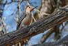 RedBelliedWoodpecker-OcalaNF-3-14-20-SJS-002