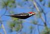 PileatedWoodpecker-SawgrassIsland-3-12-20-SJS-004