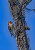 RedBelliedWoodpecker-FortDeSotoPK-4-11-19-SJS-002