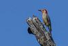 RedBelliedWoodpecker-FortDeSotoPK-4-11-19-SJS-004