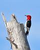 RedHeadedWoodpecker-OcalaNF-7-2-20-sjs-022