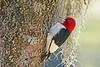 RedHeadedWoodpecker-NewberryFl-1-24-17-SJS-03