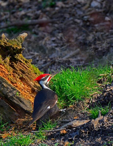 PileatedWoodpecker-Male-2016-sjs-006