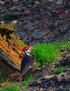 PileatedWoodpecker-Male-2016-sjs-006