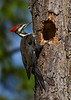 PileatedWoodpecker(female)-LakeYale-11-11-20-sjs-01