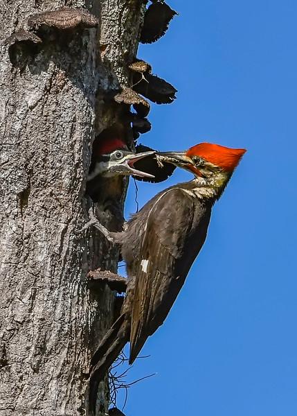 PileatedWoodpecker-MeadGardens-4-16-19-SJS-031