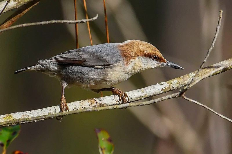Brown-HeadedNuthatch-TosohatcheeWMA-1-3-19-SJS-005