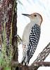 RedBelliedWoodpecker-PineMeadows-11-15-19-SJS-001