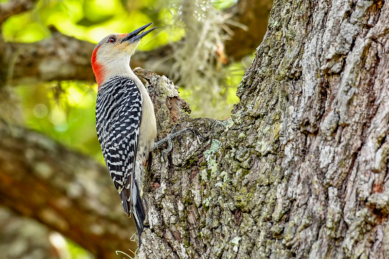 Red-BelliedWoodpecker-LYE-3-9-19-SJS-002