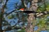 PileatedWoodpecker(male)-OcalaNF-11-8-18-SJS-010