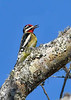 Yellow-BelliedSapsucker(male)-EmeraldaMarsh-12-28-20-sjs-001