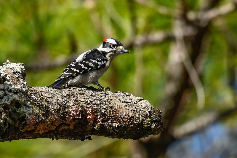 DownyWoodpecker-TosohatcheeWMA-1-3-19-SJS-006