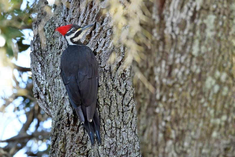 PiliatedWoodpecker(female)-OcalaNationalForest-12-5-18-SJS-006