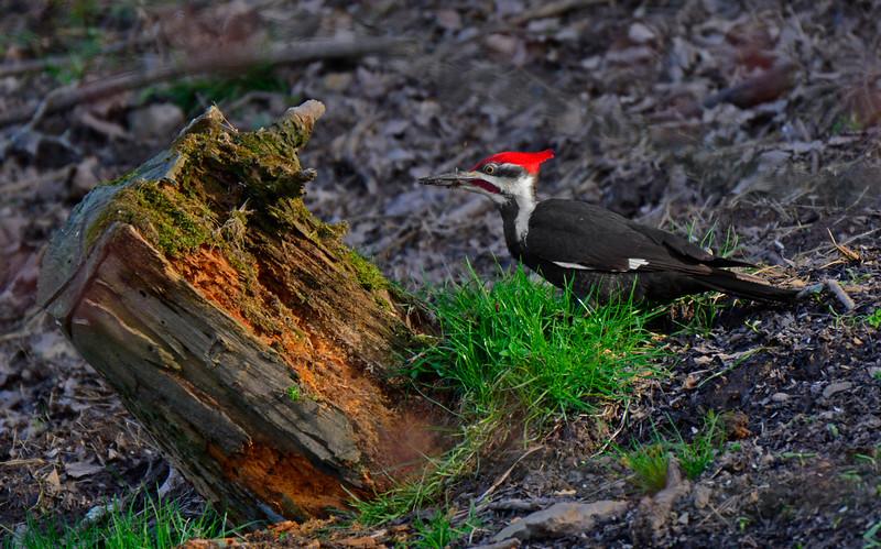 PileatedWoodpecker-Male-2016-sjs-022