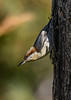 Brown-HeadedNuthatch-TosohatcheeWMA-1-3-19-SJS-006