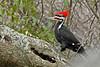 PileatedWoodpecker-ApopkaFL-1-20-18-SJS-018
