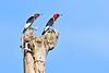 RedHeadedWoodpecker-OcalaNF-7-15-2020-SJS-06