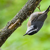 RedBreastedNuthatch-MageeMarsh-5-12-19-SJS-002