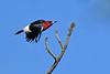 RedHeadedWoodpecker(male)-OcalaNF-5-11-20-SJS-02