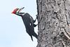 PileatedWoodpecker-OaklandNaturePreserve-11-2-19-SJS-003