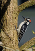 HairyWoodpecker(male)-01