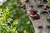 PileatedWoodpecker-MeadGardens-4-16-19-SJS-009