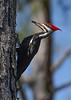 PileatedWoodpecker-SawgrassIsland-3-12-20-SJS-010