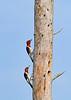 RedHeadedWoodpecker-OcalaNF-7-15-2020-SJS-12