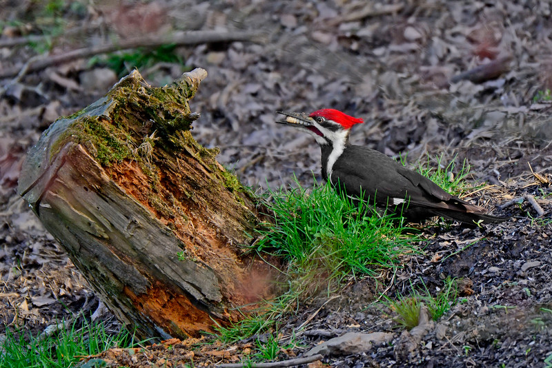 PileatedWoodpecker-Male-2016-sjs-028