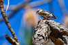 BrownHeadedNuthatch-ClearWaterLake-1-7-20-SJS-004
