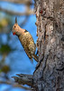 NorthernFlicker-WSSP-MarionCoFL-2-8-19-SJS-008